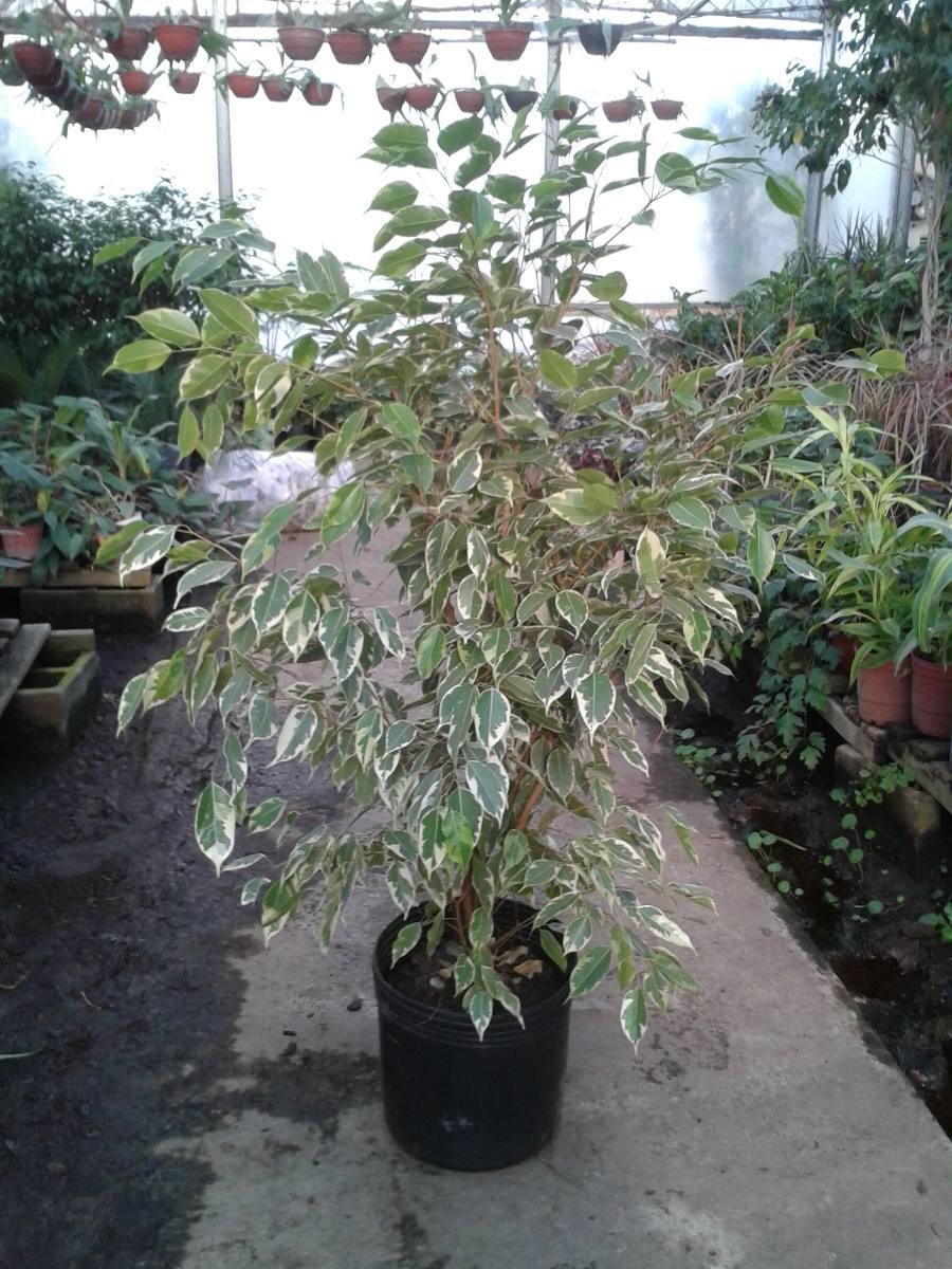 Ficus golden prince planta para interior y exterior e10 for Plantas de interior precios
